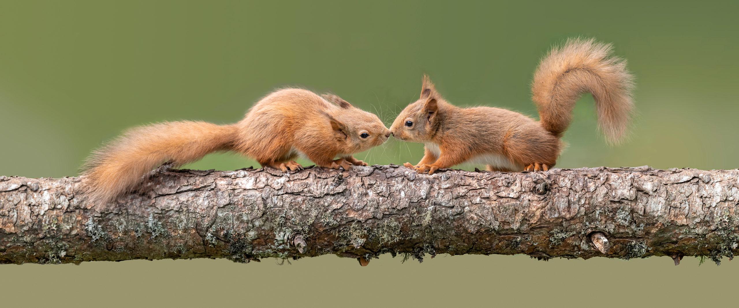 kissing squirrels